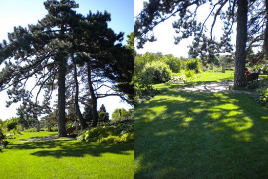 Two views of my dramatic pine trees at the Experimental Farm, Ottawa, August 2011